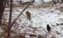 فيديو.. صداقة فريدة بين نمر وعنزة في روسيا