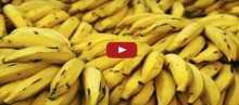 بالفيديو: لهذه الاسباب سينقرض الموز بعد أعوام