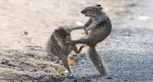 """بالصور.. معركة بين سنجابين على طريقة """"الكونغ فو"""""""