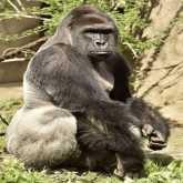 بالفيديو: حديقة حيوان تطلق النار على حيوان غوريلا نادر لإنقاذ حياة طفل