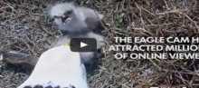 """بالفيديو: إنقاذ نسر أميركي مشهور تعرض لهجوم من """"بومة"""""""