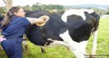 لماذا تقوم المزارع الأميركية بعمل ثقوب كبيرة في أجساد الأبقار؟