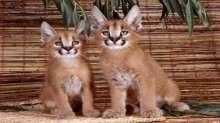 ألطف الحيوانات الشرسة في العالم .. تعرفوا على قط الكراكال