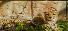حديقة الإمارات للحيوانات تنقذ فهوداً برية نادرة