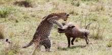 بالصور.. لحظة هجوم أنثى نمر على خنزير بري