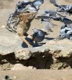 لقطات مرعبة لذئب يطير مع سرب طيور لافتراس أحدهم