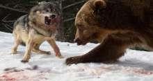 دب جائع يجرد ذئاباً متوحشة من فريستها بعد معركة شرسة
