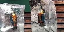 لقطات مذهلة ومأساوية معاً لطائر رفراف مجمد في بركة مياه