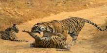 أنثى نمر تلقن ابنها درسا قاسيا للعب في الوحل