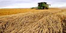 مناقصة تقضي بشراء الجزائر لـ 50 ألف طن من القمح