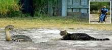 """""""قط لاجونا"""" أصبح بطلاً بسبب مافعله مه حية ذات أجراس"""