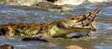 لقطات مأساوية لتمساح يبتلع غزالة