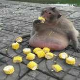 قرد سمين بطريقة لاتُعقل يحقق شُهرة واسعة