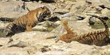 لقطات مُذهلة لمعركة بين إناث النمر من أجل المياه