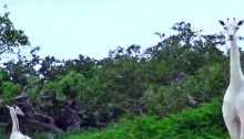 رصد زرافات بيضاء نادرة جداً في كينيا